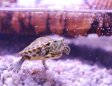 baby turtle swimming