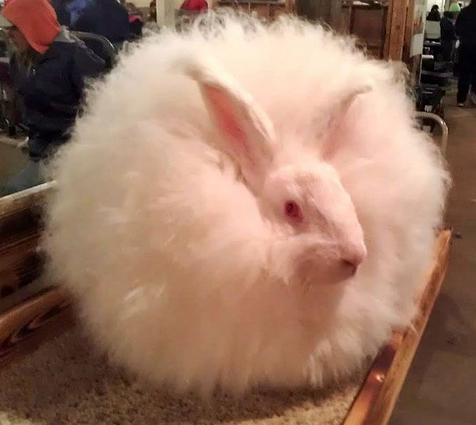 angora rabbit breed profiles