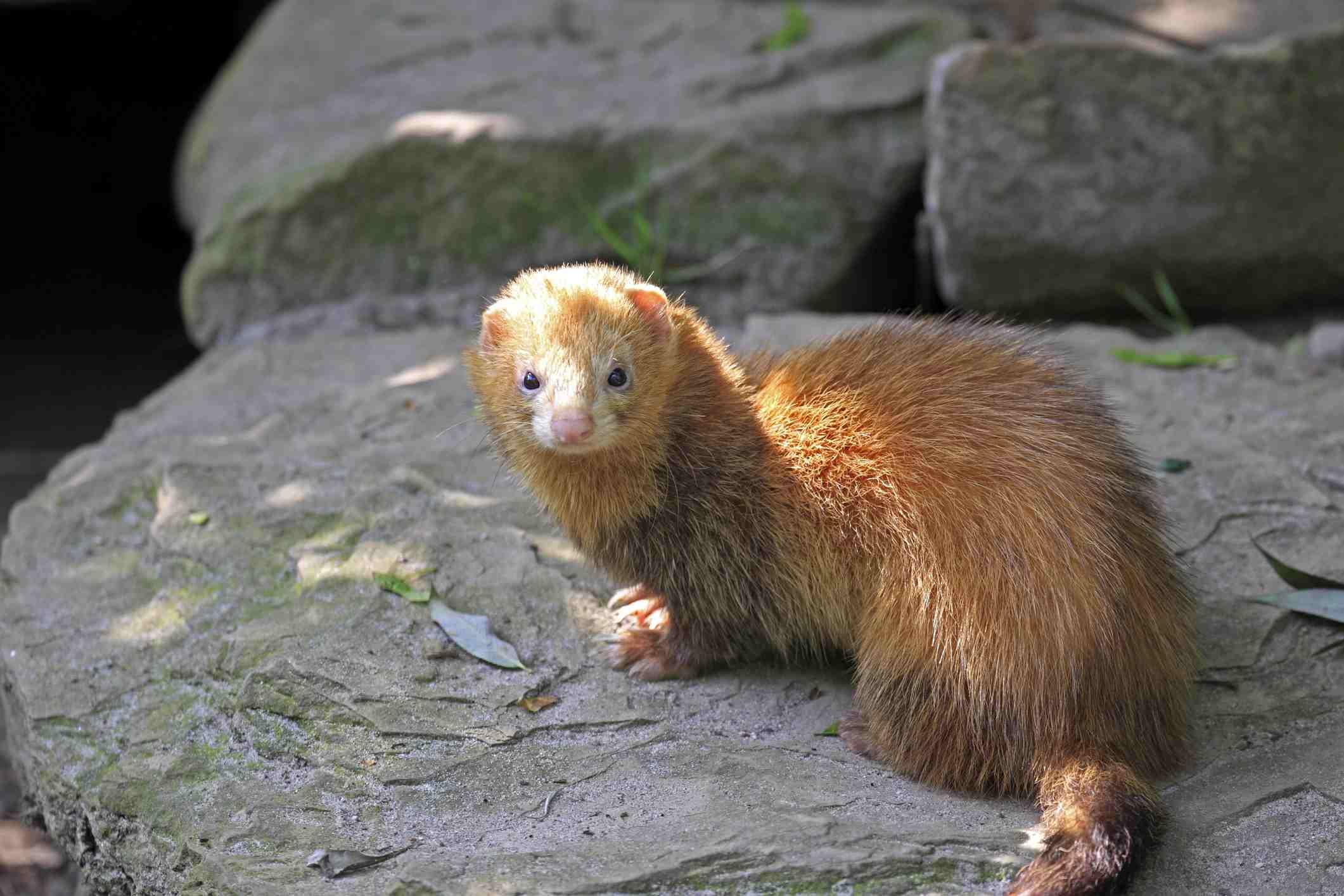 Ferret on rock