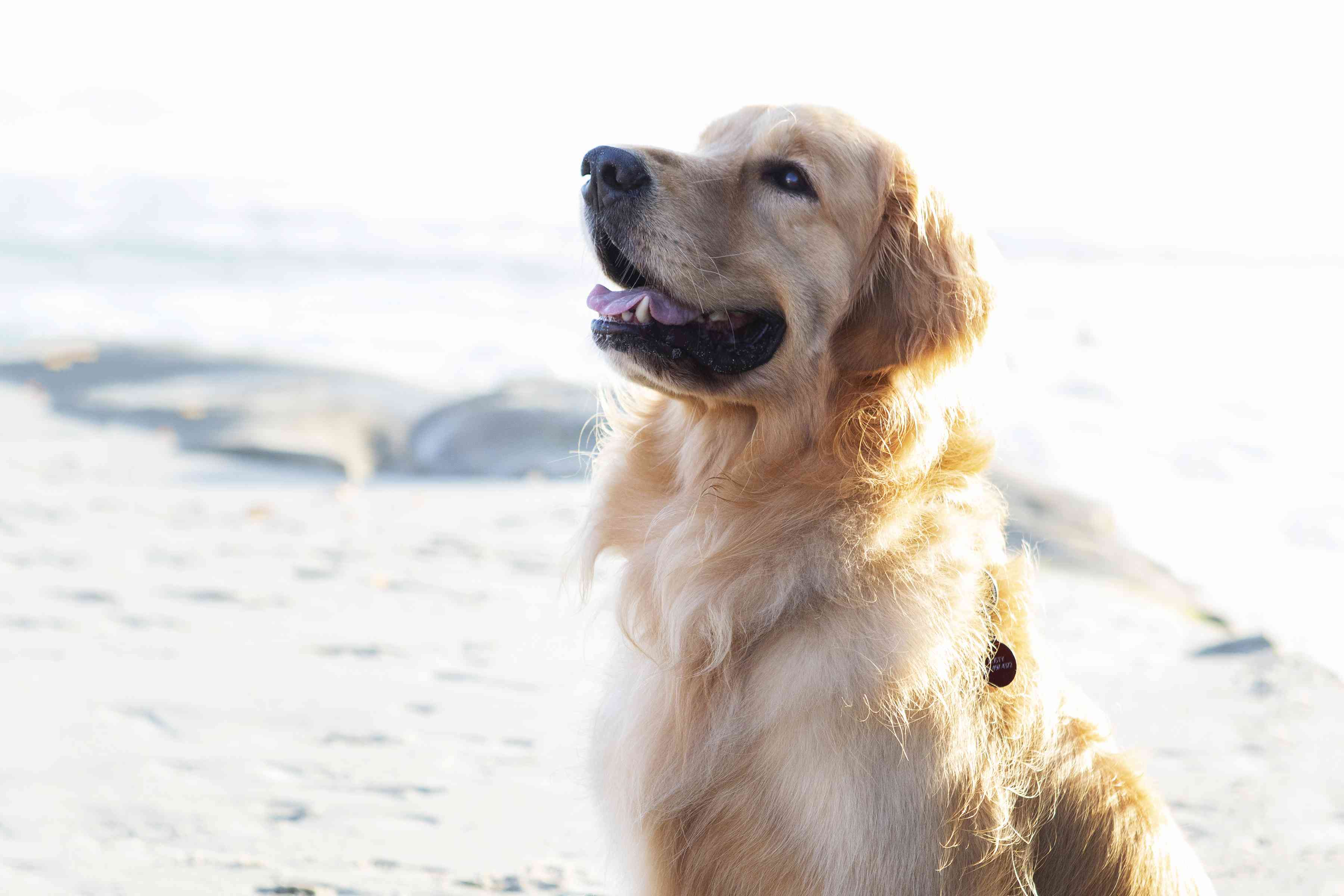 Golden retriever dog sitting in front of water and looking up