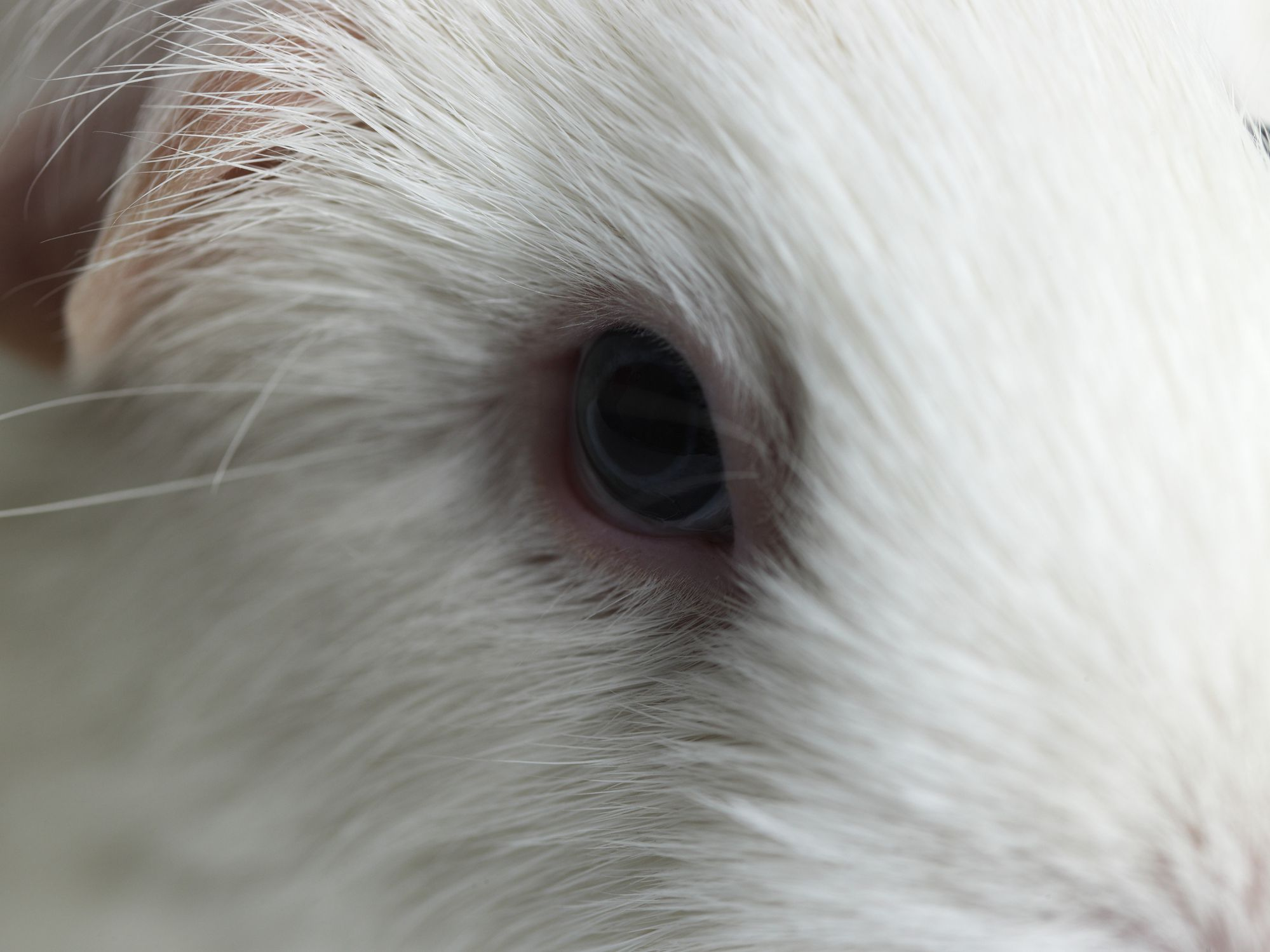 How to Treat Eye Infections and Problems in Guinea Pigs