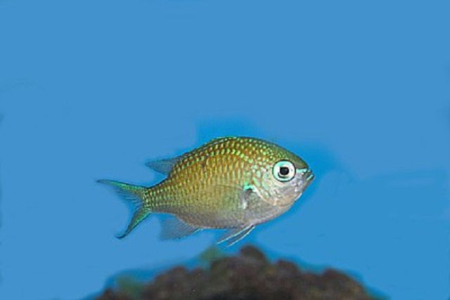 Blue/Green Reef Chromis (Chromis viridis)