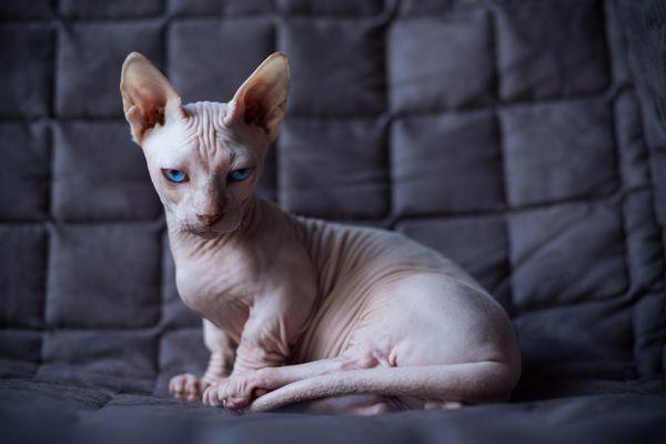 A white adult Bambino Cat