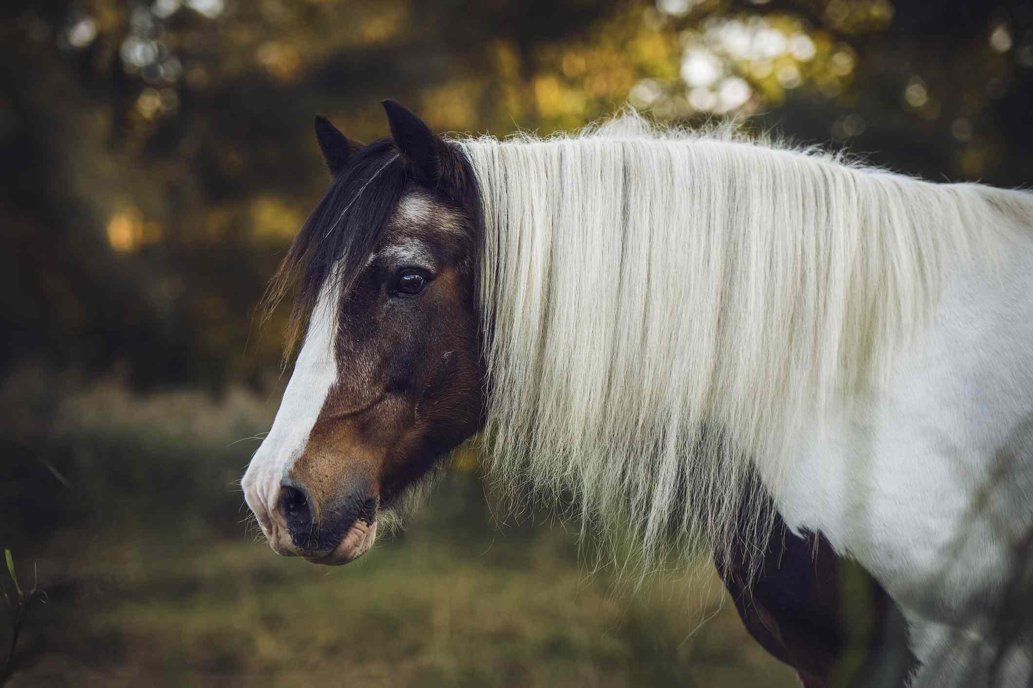 Senior Gypsy Vanner posing in a pasture.