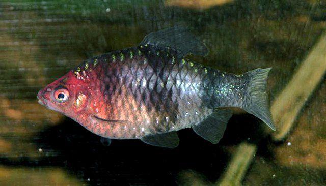 Black Ruby Barb fish