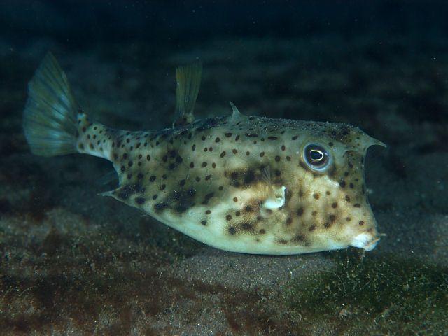 Spiny Cowfish (Lactoria Diaphana)