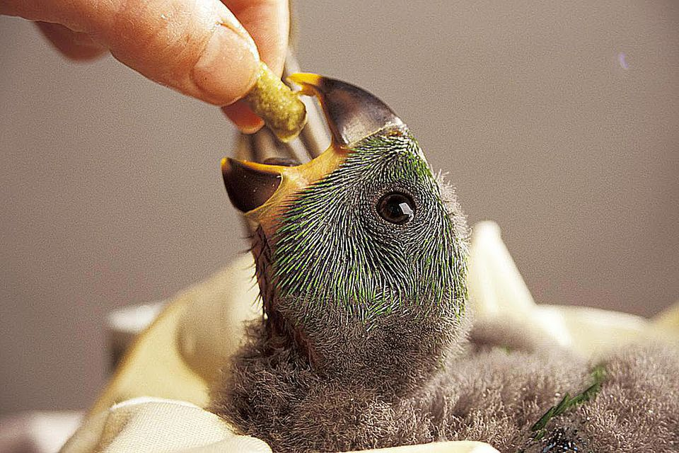 An infant parrot is being fed