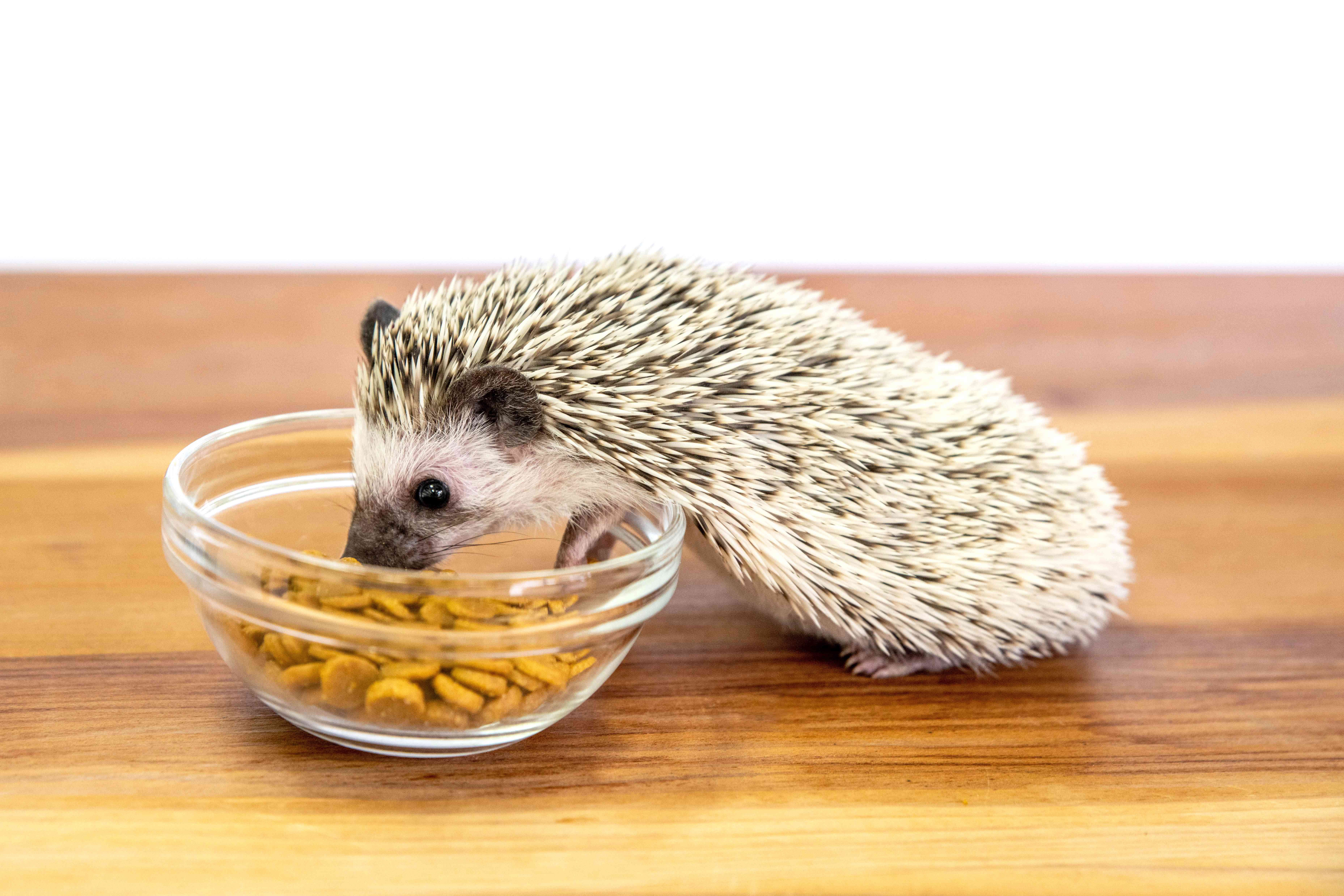 Hedgehog eating out of glass bowl with kibble
