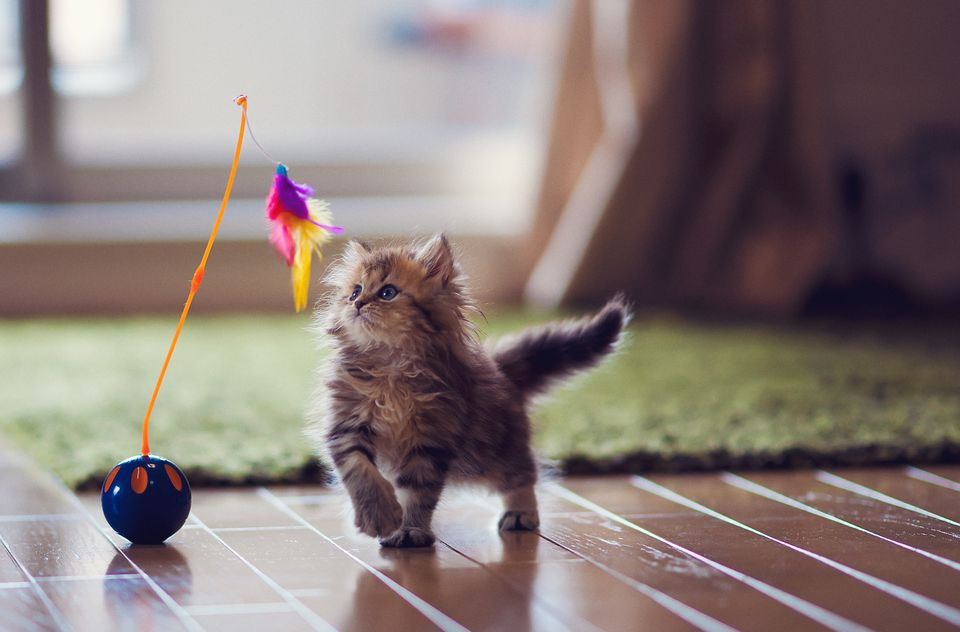 Kitten playing with feather toy