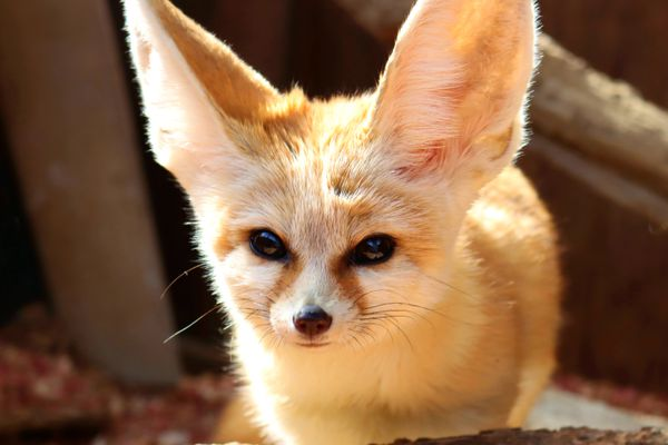 Fennec fox with long pointed ears in sunlight