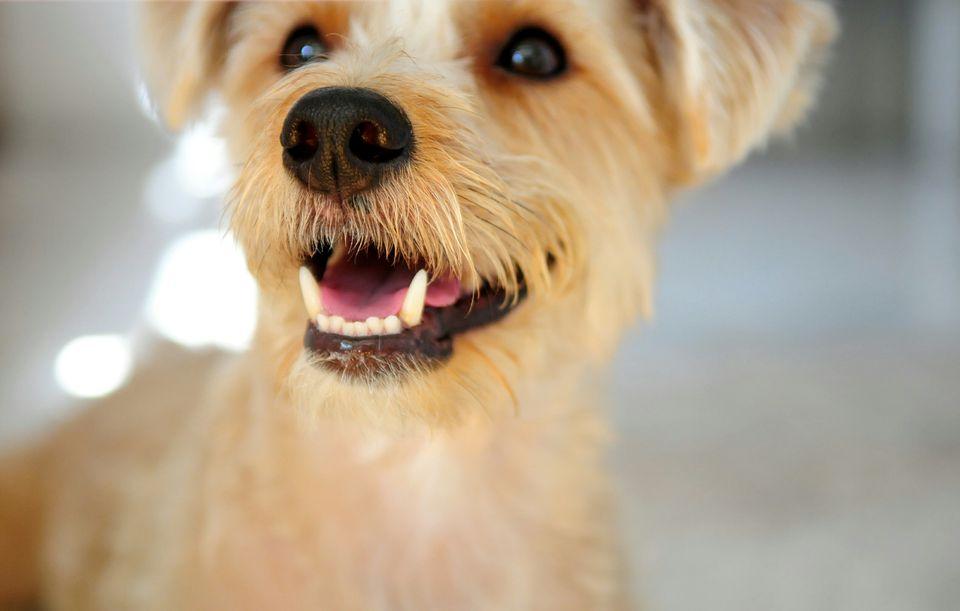 Smiling terrier