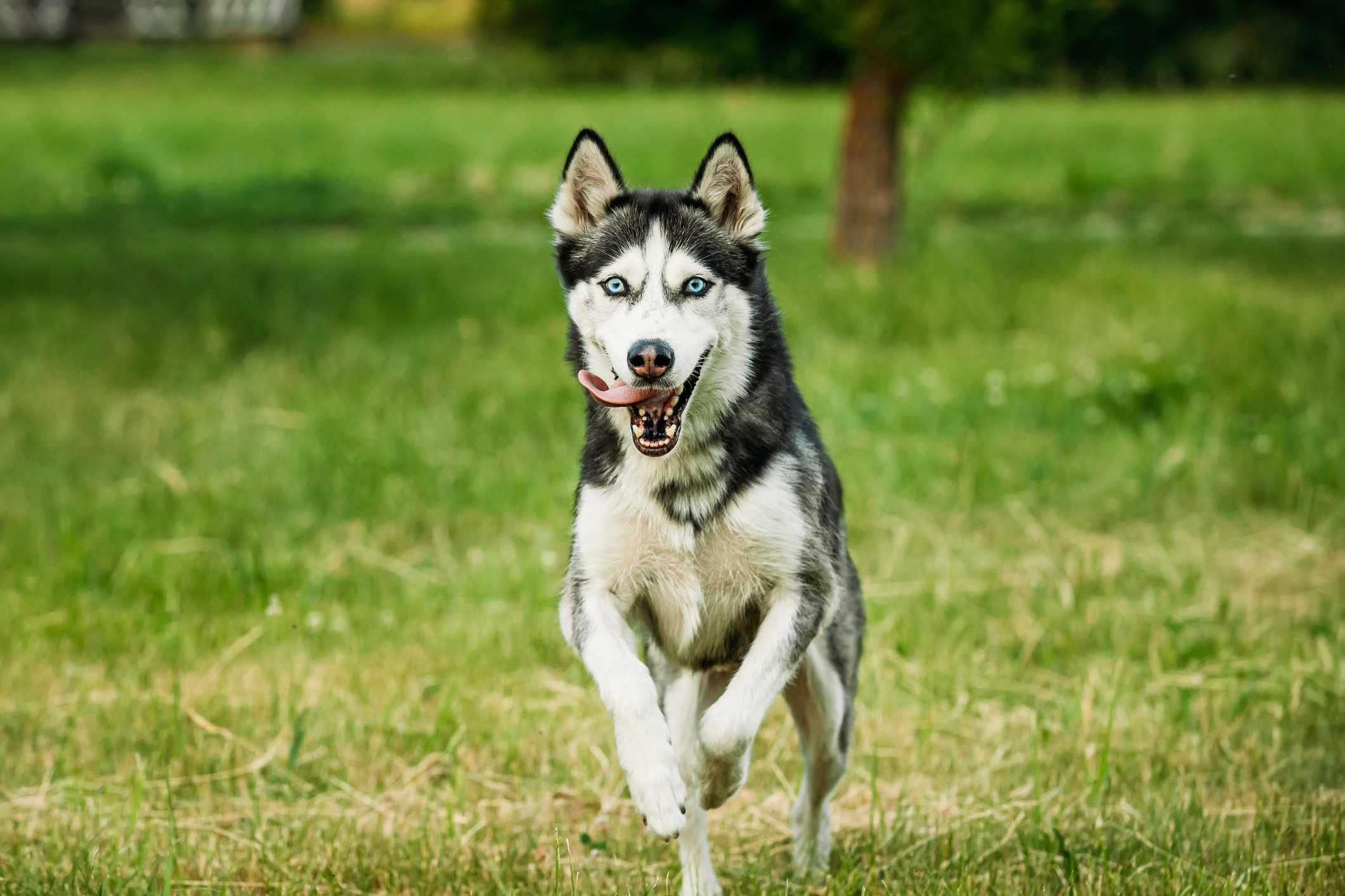 Siberian husky running on grass