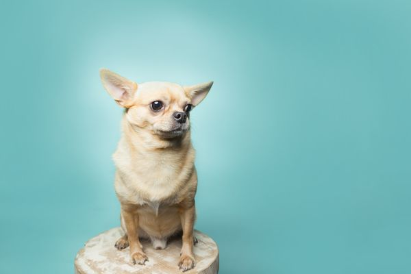 Chihuahua sitting in front of teal background.