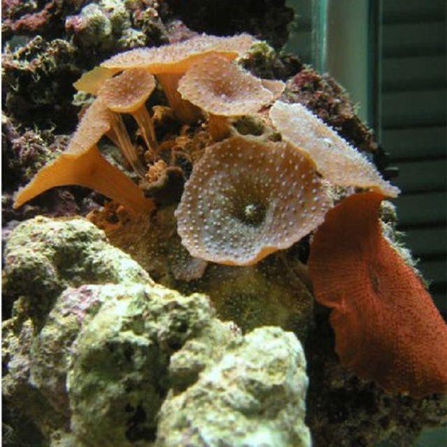 Mushroom (Actinodiscus sp.) Corals