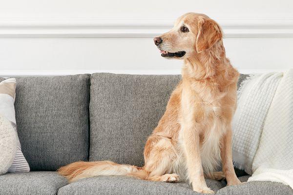 A golden retriever on a sofa