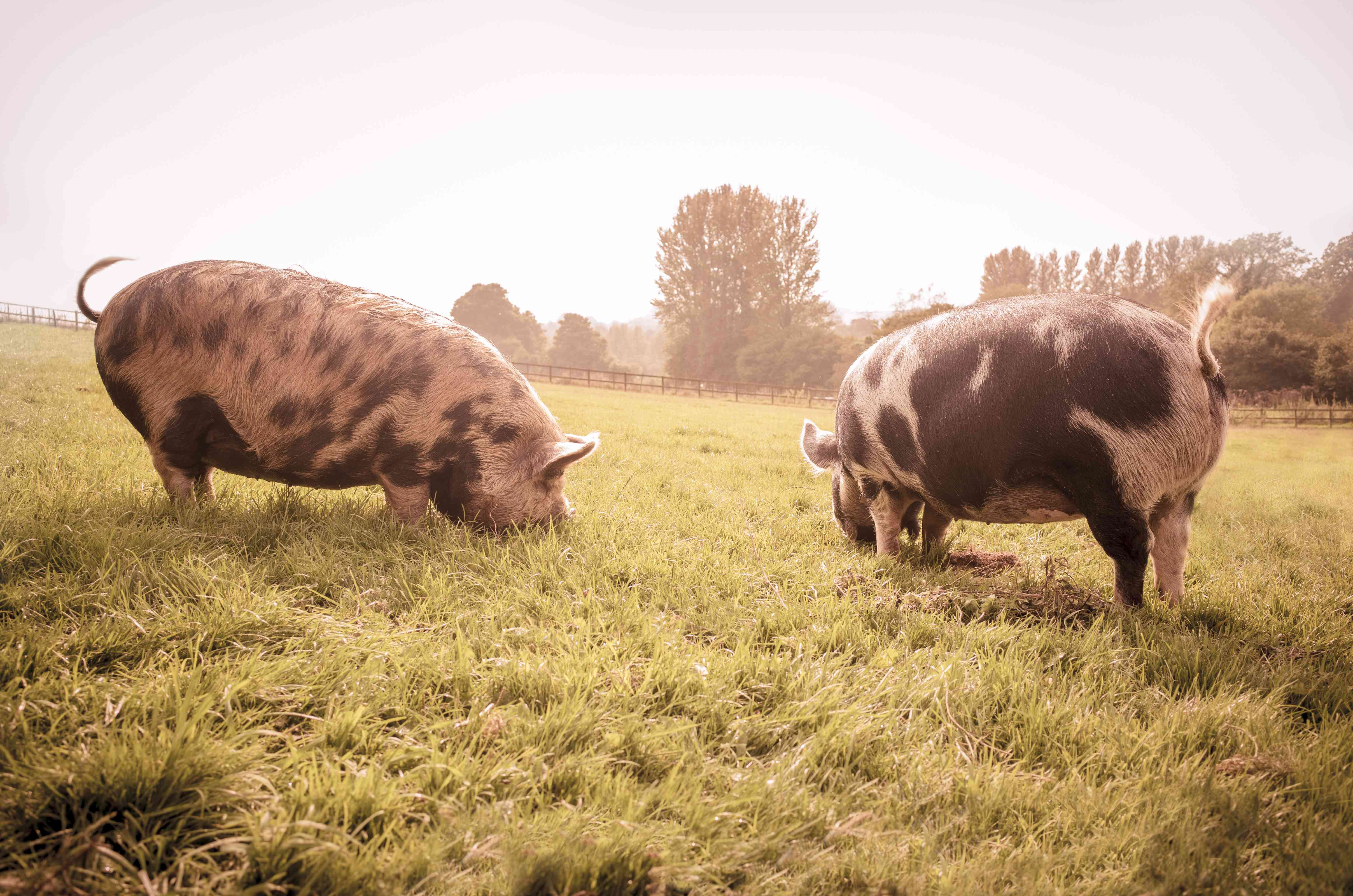 Two long-haired pigs grazing in a pasture