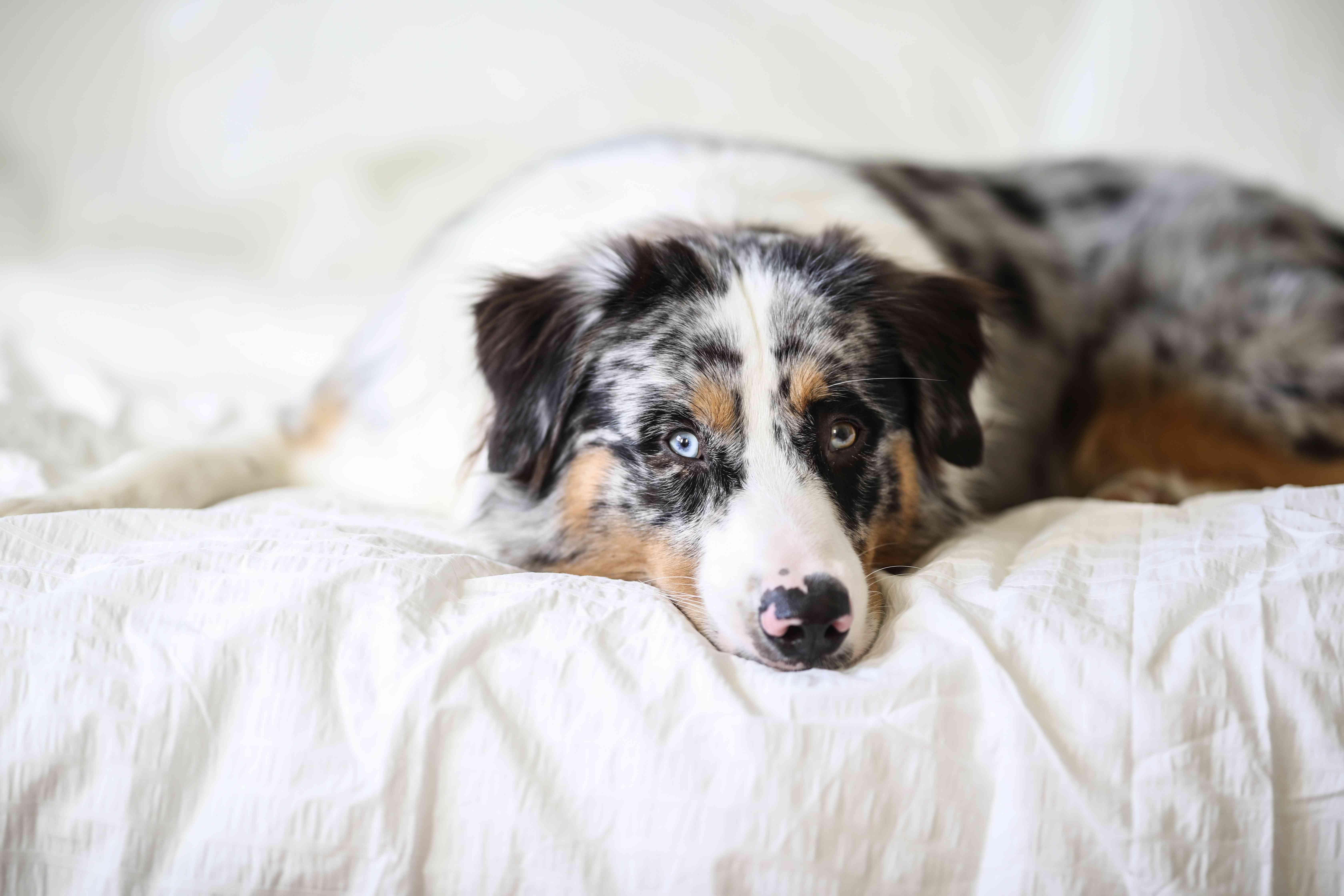 Portrait of and Australian Shepherd Dog