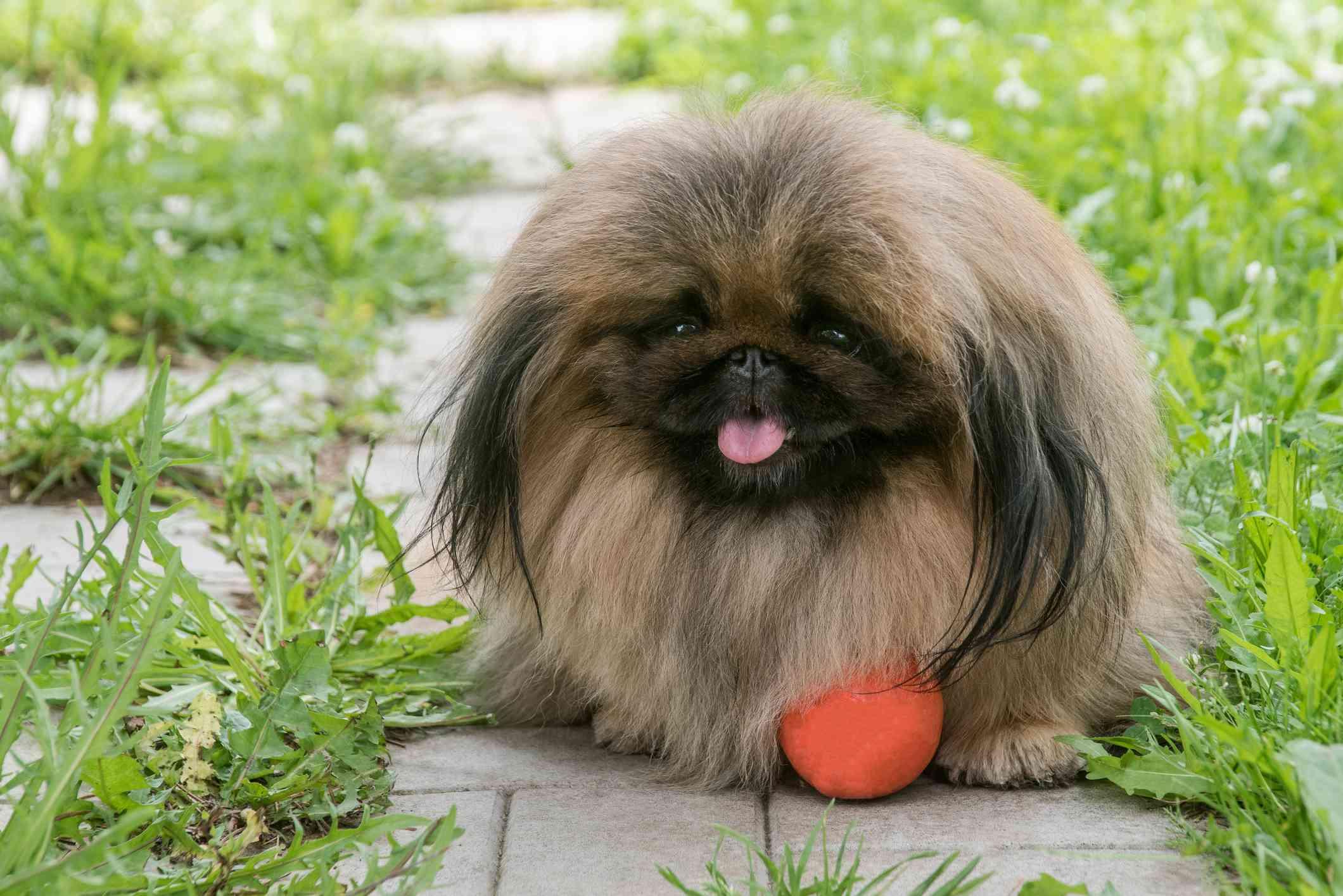 Pekingese outside with an orange ball