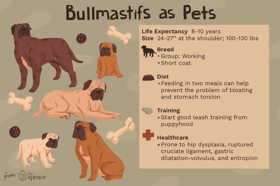 bullmastifs as pets illustration