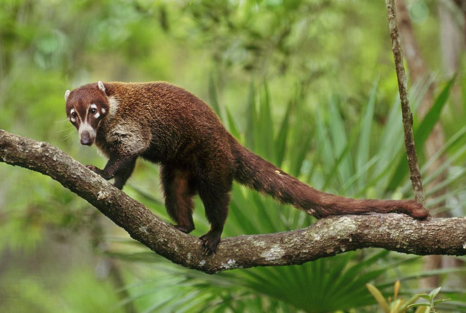 Coati on a branch in the jungle