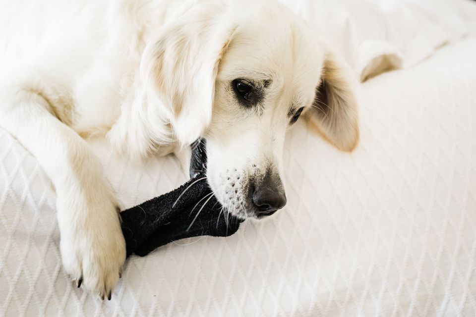 a dog chewing on a sock