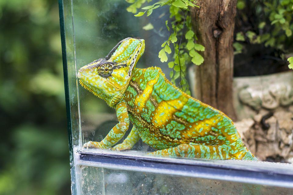 Chameleon, Chamaeleonidae, sitting in terrarium