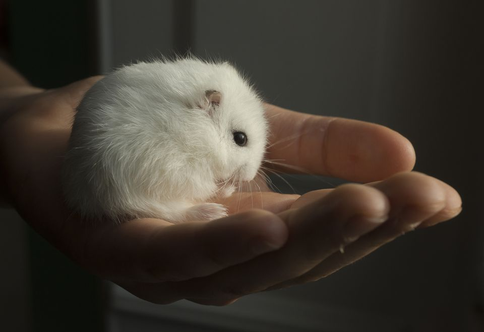 White Russian Hamster in hand of a child - France