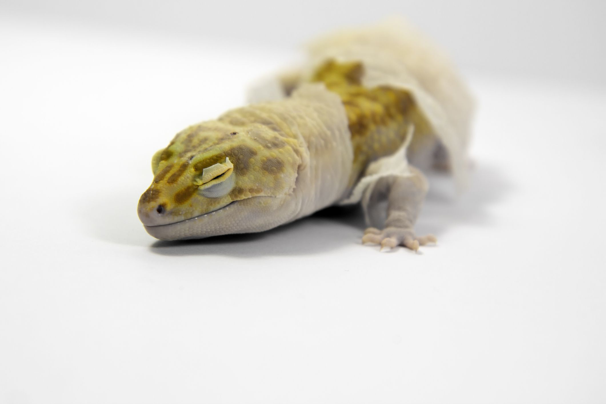 Leopard gecko with retained shed.