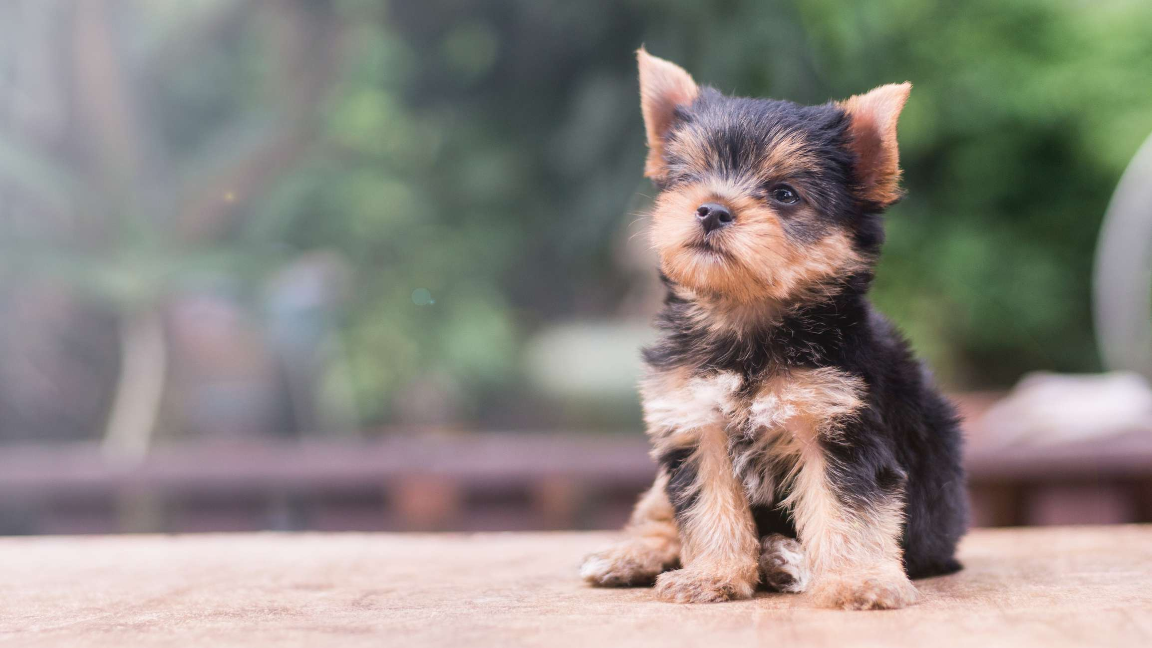 Yorkshire Terrier - Full Profile, History, and Care