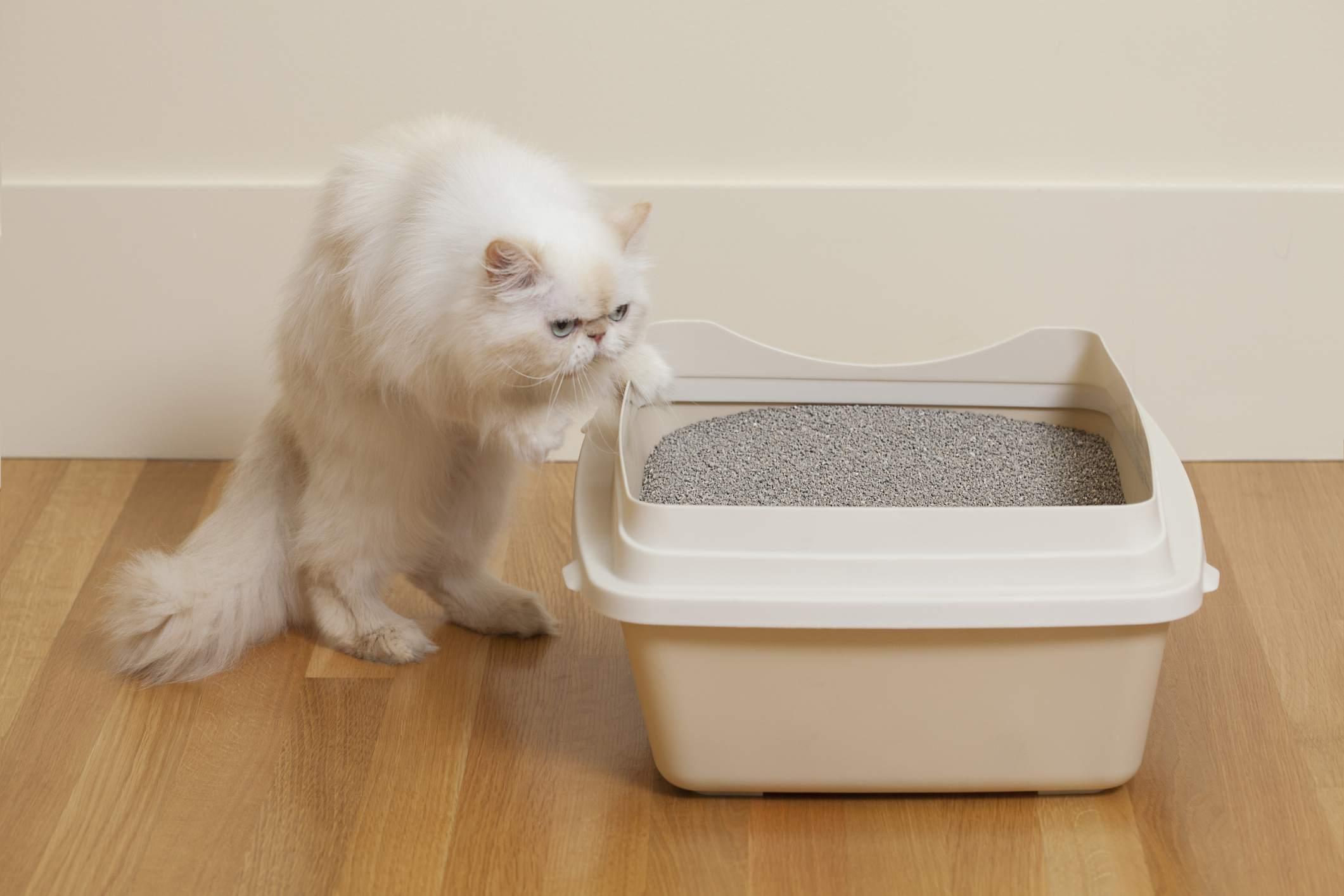 White Persian cat approaching a litter box.