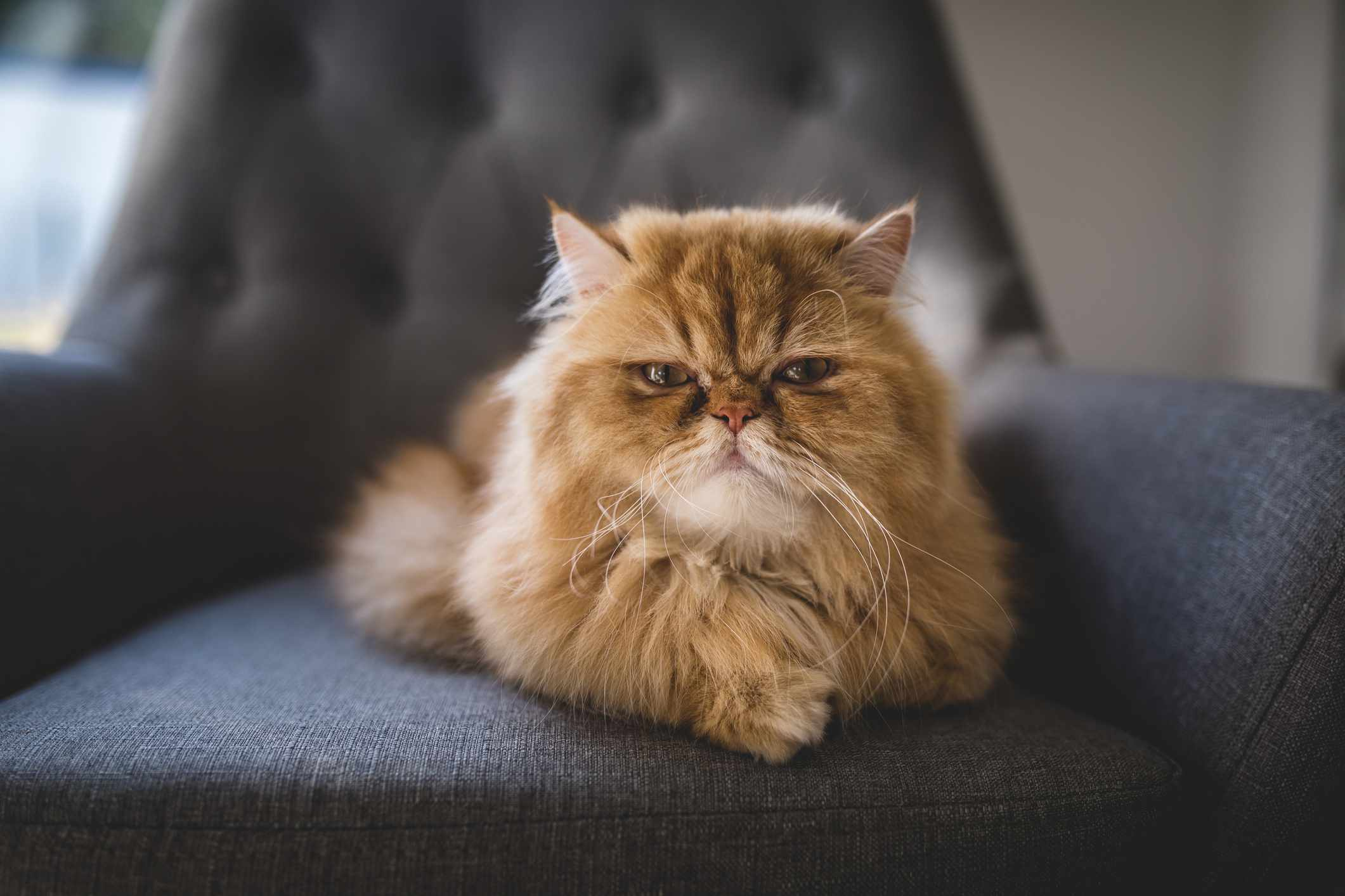 A flat-faced orange Persian cat staring at the camera laying on a plush chair.