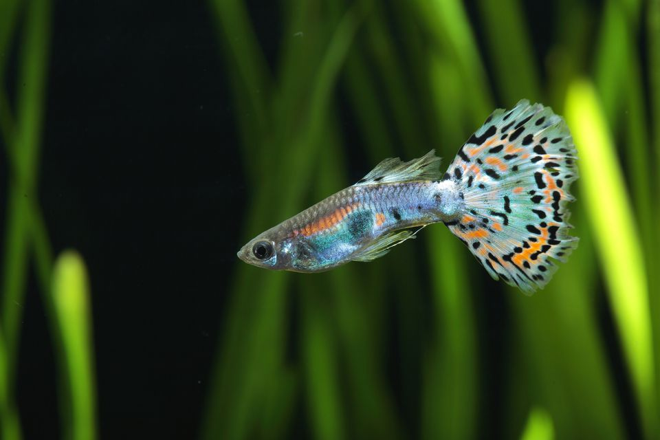 Guppy (Poecilia reticulata) 'Calico blue pink' male profil in aquarium