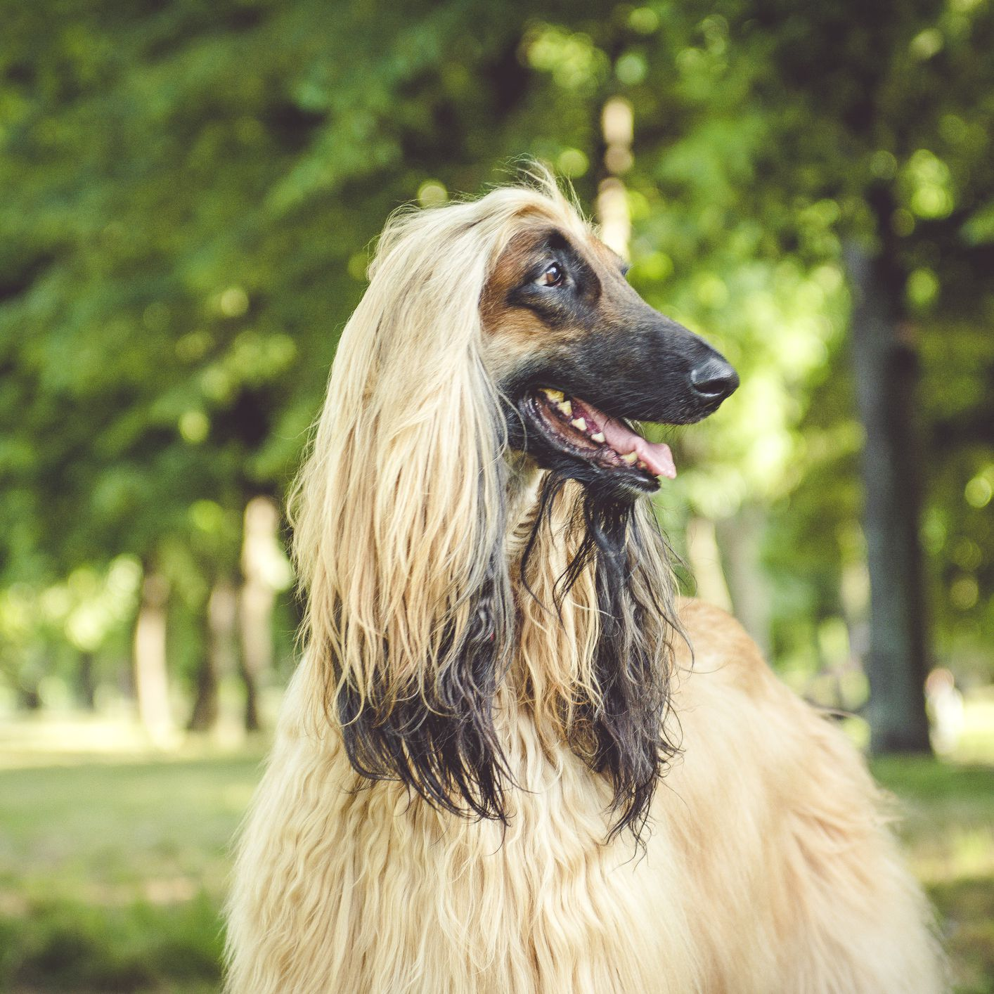 Afghan Hound Full Profile History And Care
