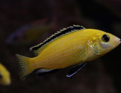 Yellow Lab fish