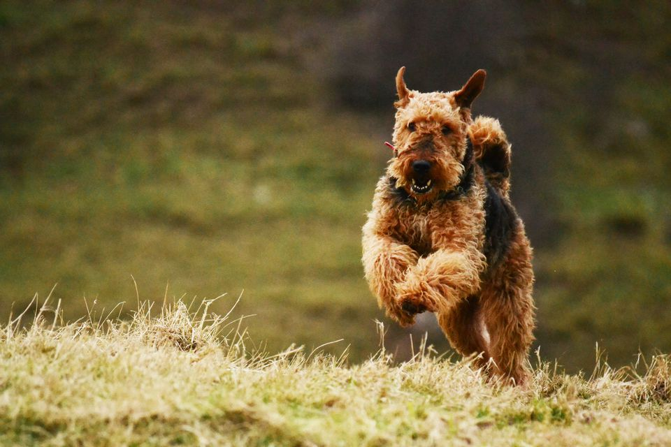 An Airedale Terrier running on grass