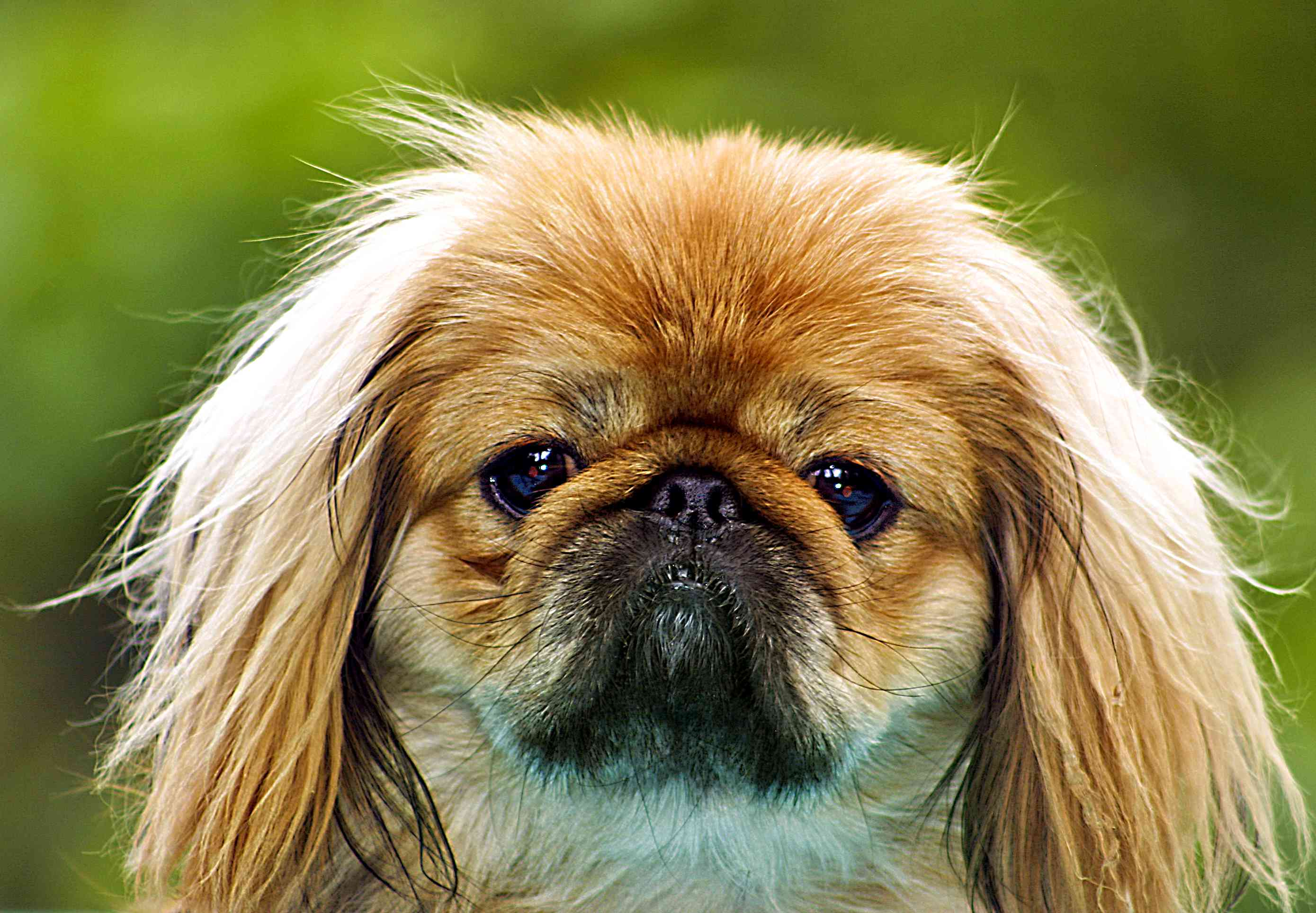 A Pekingese dog looking into the camera.