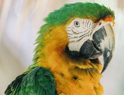Close-up of a Catalina macaw, also called a Rainbow macaw