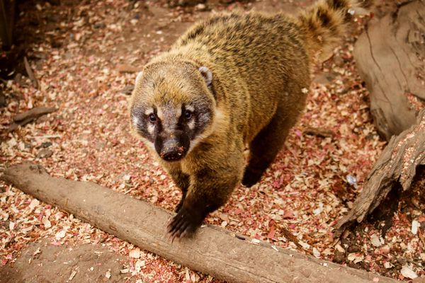 Coatimundi raccoon with light brown fur stepping on to long piece of wood