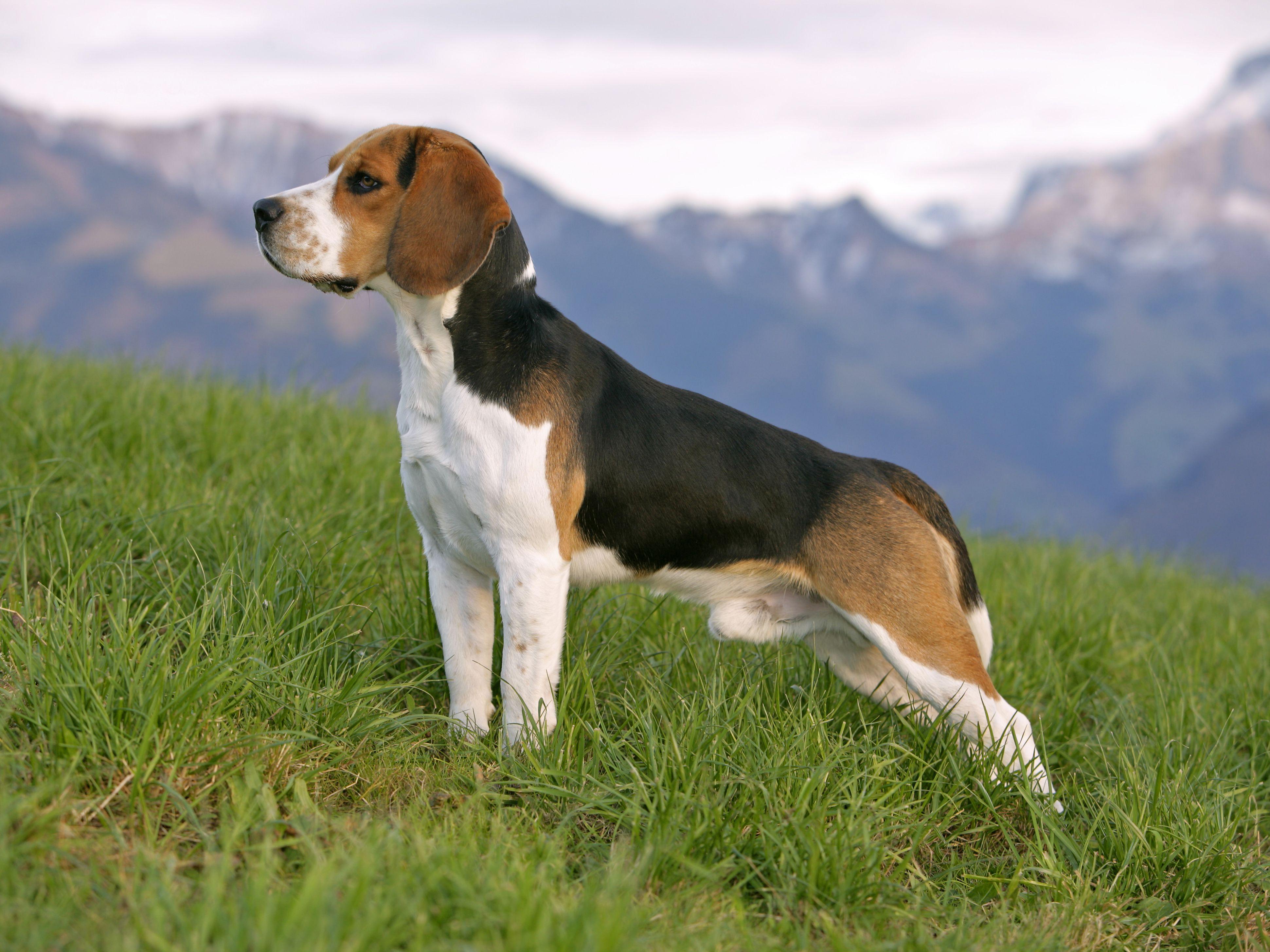 Beagle Full Profile History And Care
