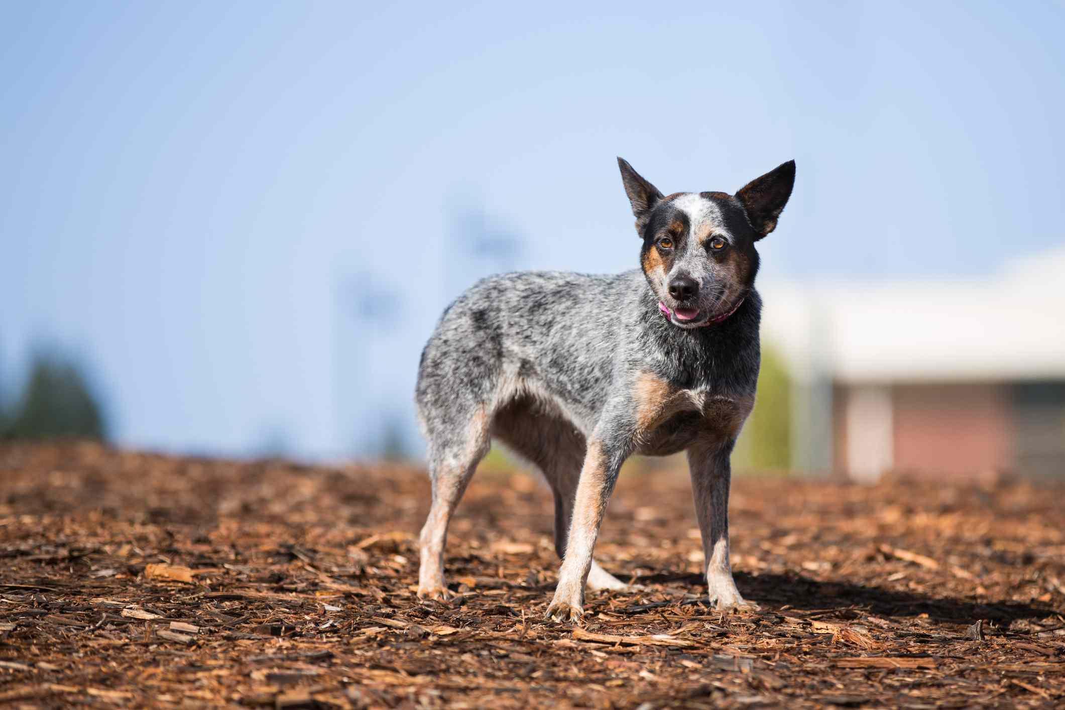 Perro de ganado australiano parado sobre virutas de corteza