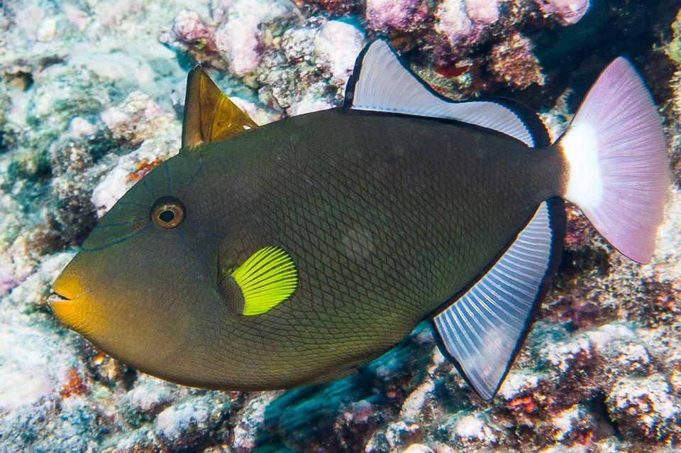 Melichthys vidua, Raiatea, French Polynesia