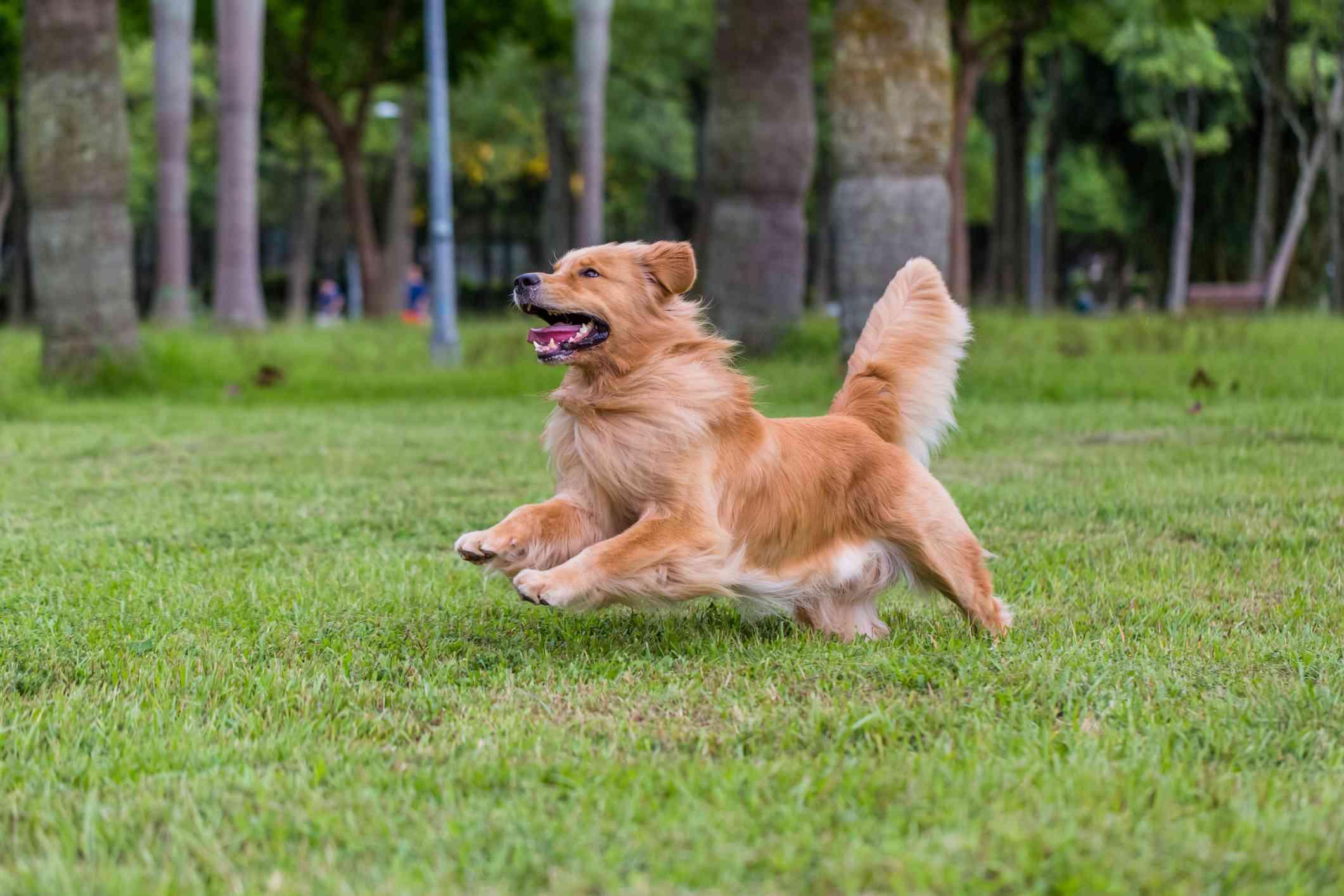 A happy Golden Retriever running