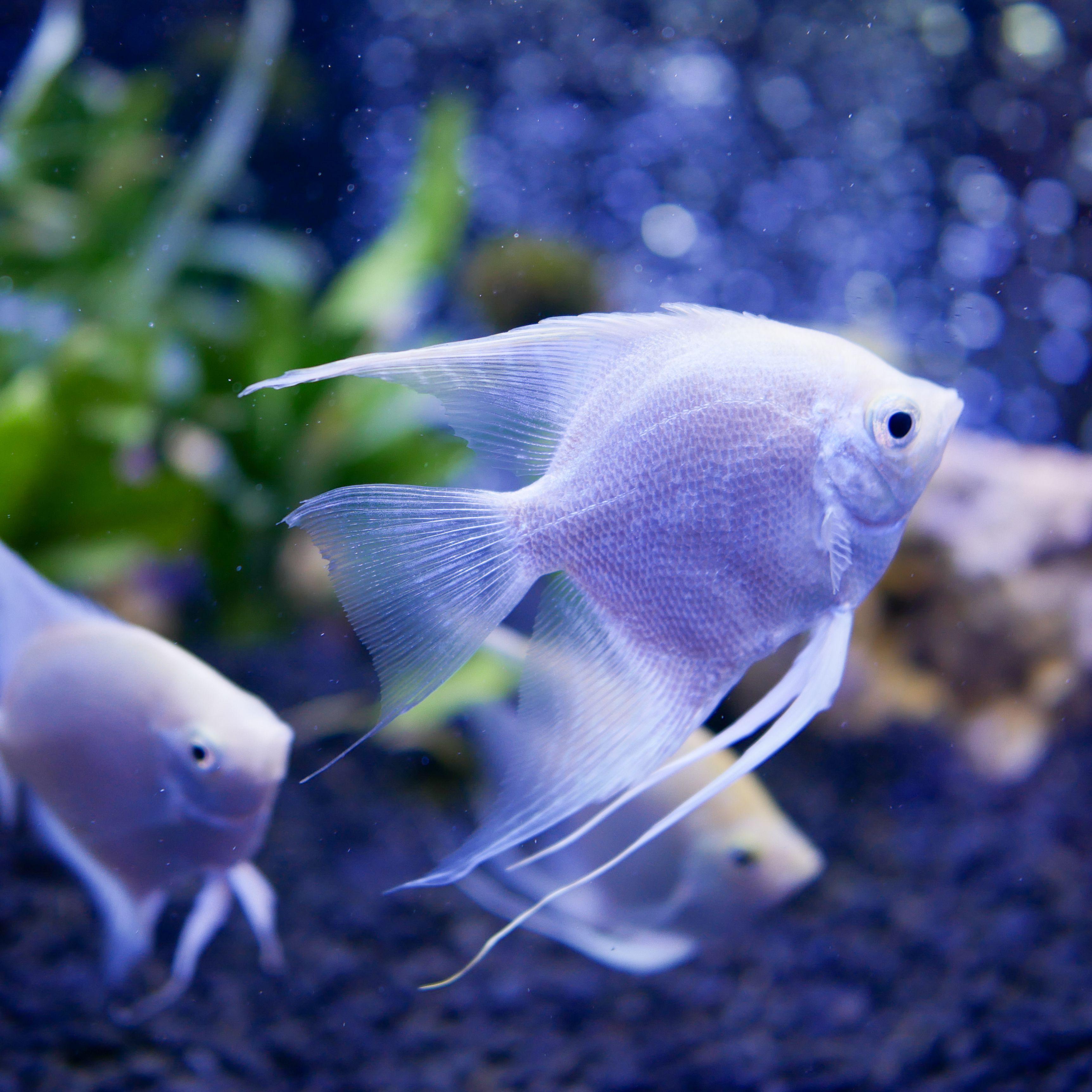 peixe-anjo scalare