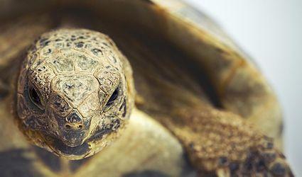 Portrait of a greek tortoise (testudo graeca).