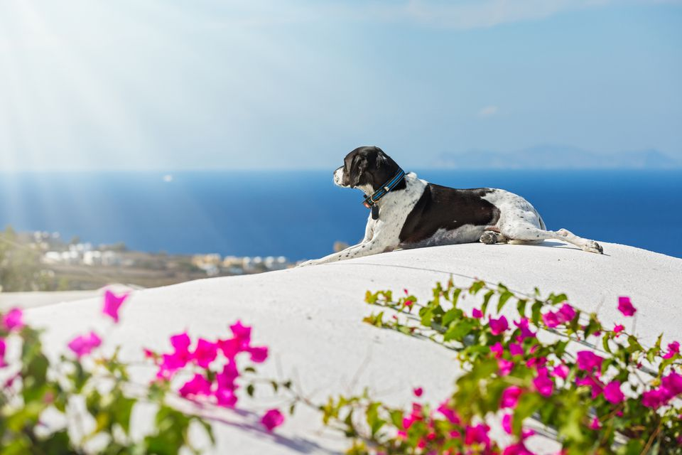 A dog looking at a Greek vista.
