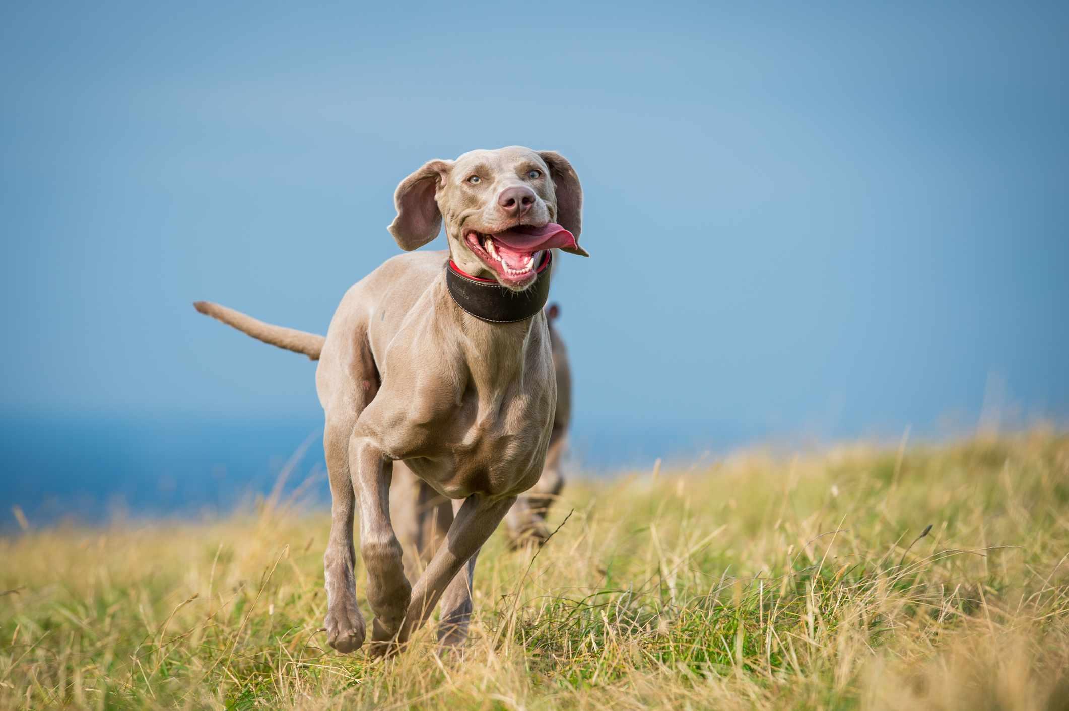 Weimaraner running across grass