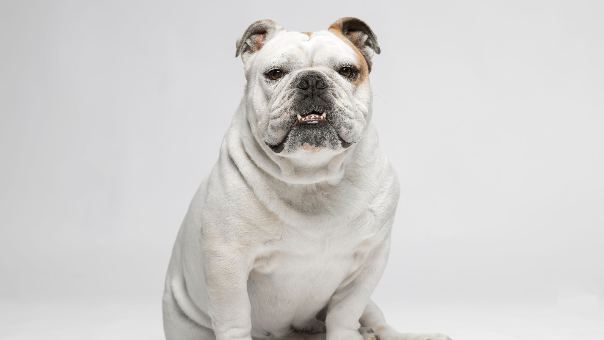 Different Bulldog Breeds To Consider