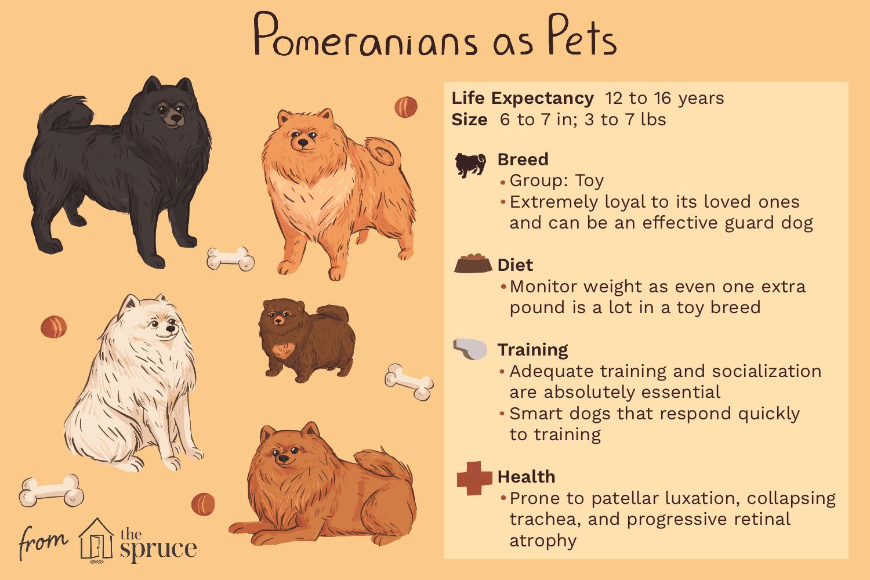 Pomerania como ilustración de mascotas