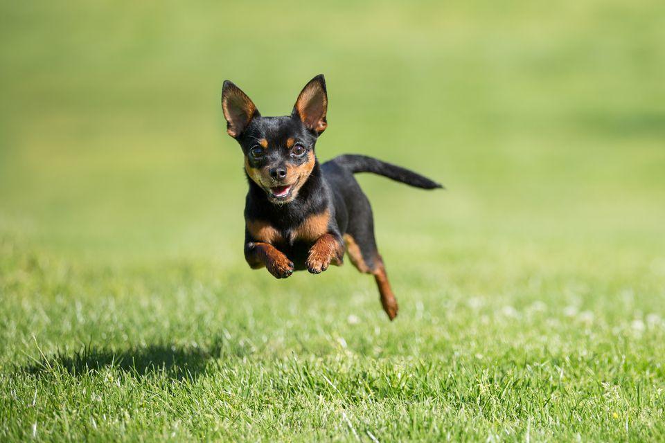 perro chihuahua corriendo