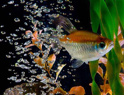 Tetra in fish tank
